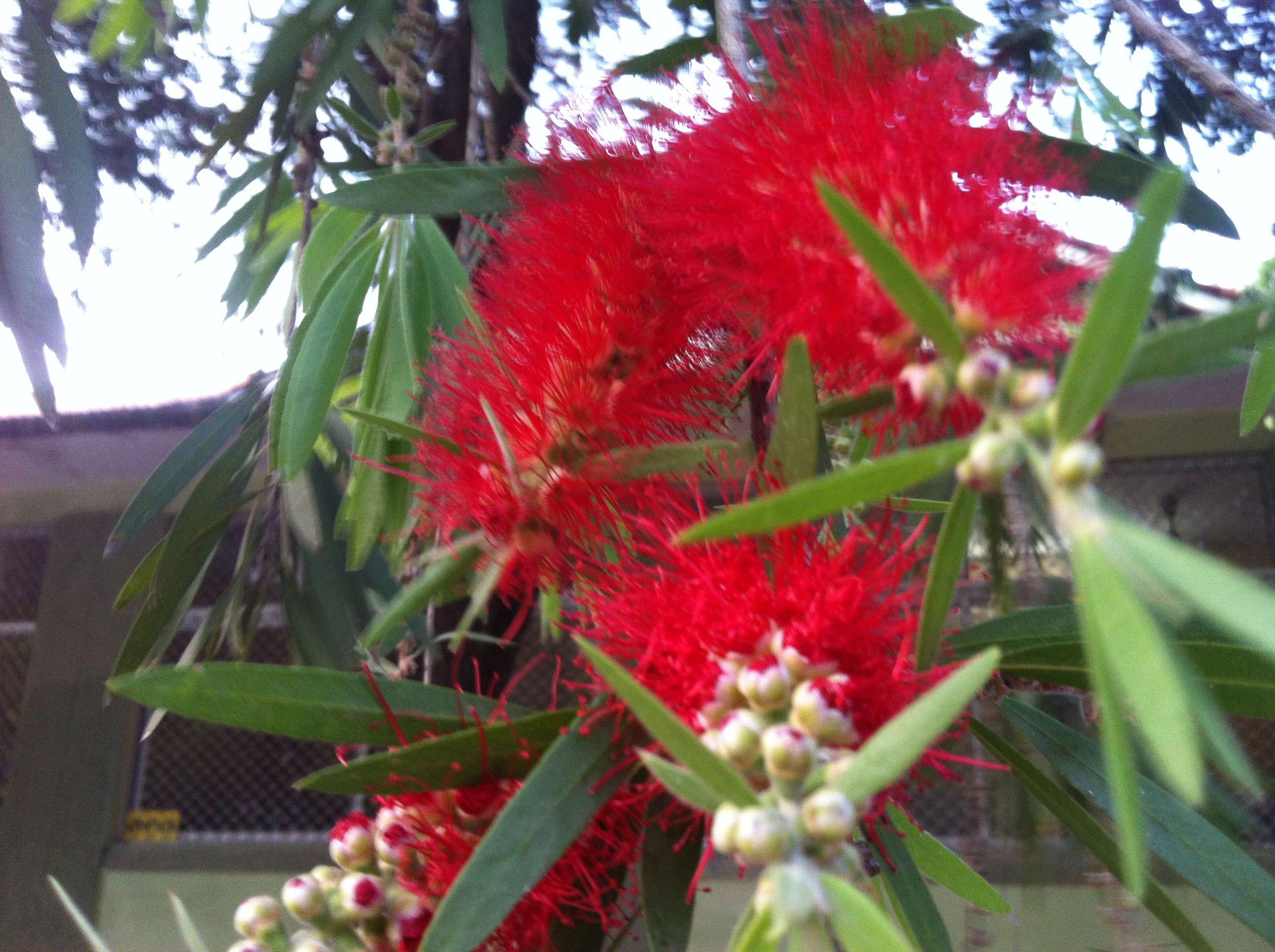 Soft red bristles