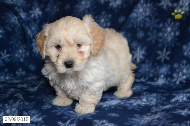 Mini Goldendoodle Puppy For Sale In Ohio Http Www Buckeyepuppies Com Puppy For Sale Mini Gold Mini Goldendoodle Puppies Goldendoodle Puppy Mini Goldendoodle