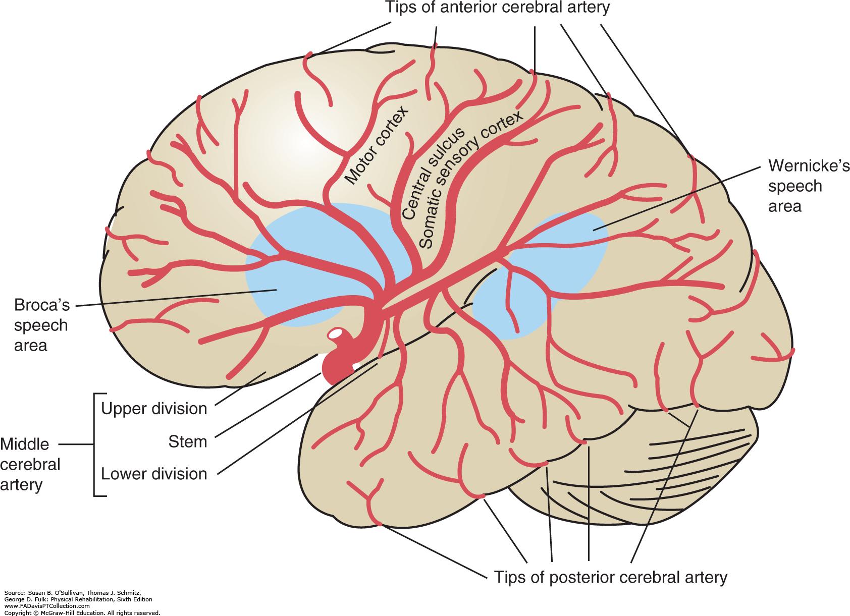 Image result for middle cerebral artery | NEUROLOGY | Pinterest