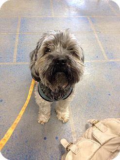 Fort Dodge Ia Yorkie Yorkshire Terrier Shih Tzu Mix Meet Chewie A Dog For Adoption Kitten Adoption Dog Adoption Yorkie Yorkshire Terrier