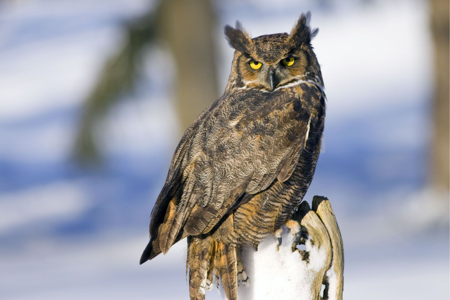 Great Horned Owlowl Meaning Owl Symbolism Owl Totem Owl Dreams