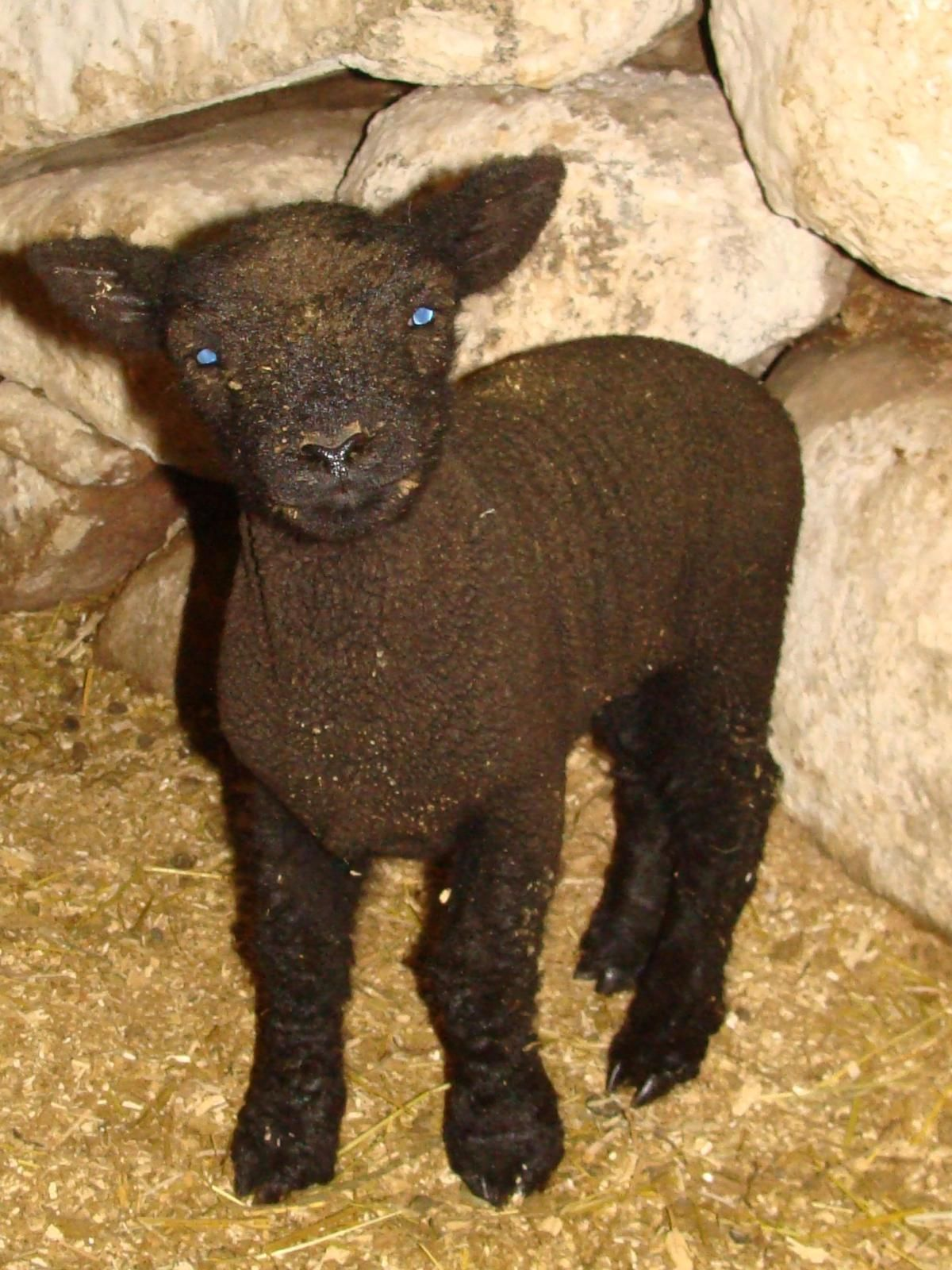 Meet Rocky, the Blue eyed Black Wool Miniature Babydoll Lamb!