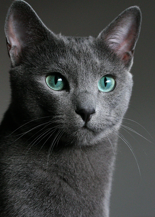 best russian blue cat personality images ideas most