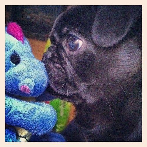 Kissing pug