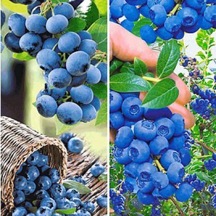 Heidelbeeren Richtig Pflanzen Garten Pinterest Pflanzen
