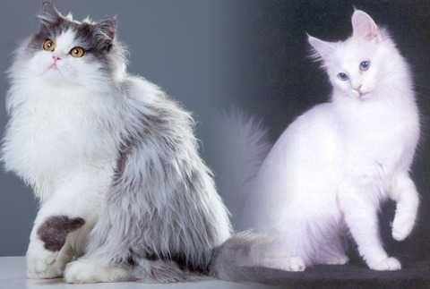 10 Perbedaan Kucing Anggora Dan Persia Yang Perlu Diketahui Persia Cats Animals