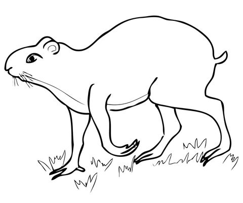 Agutí Dibujo para colorear | animales | Pinterest