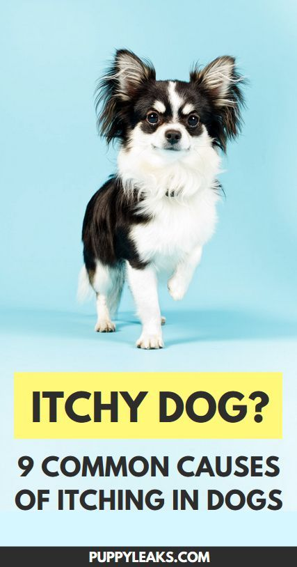 Why Does My Dog Itch So Much? Why do dogs lick, Dog