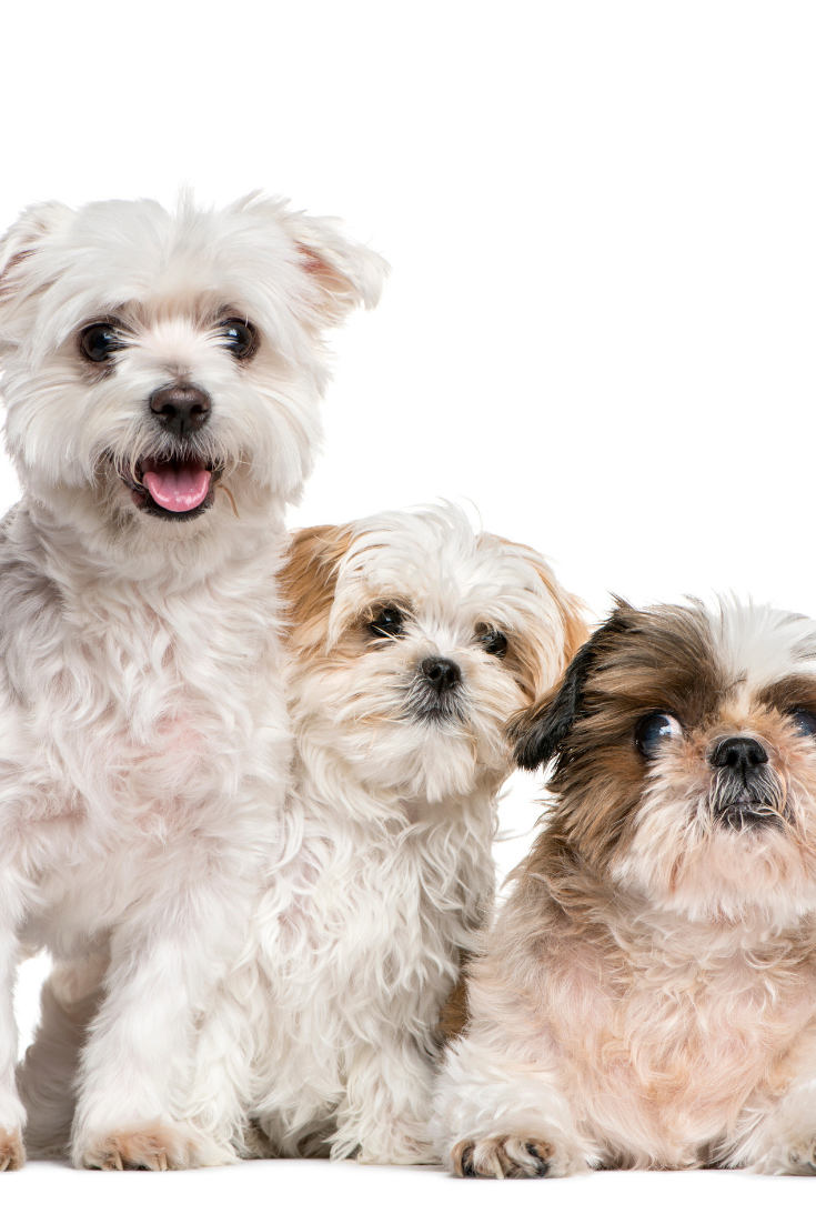 Group Of Dogs Shih Tzu And Maltese Together Isolated On White In 2020 With Images Maltese Shih Tzu Puppy Group Of Dogs