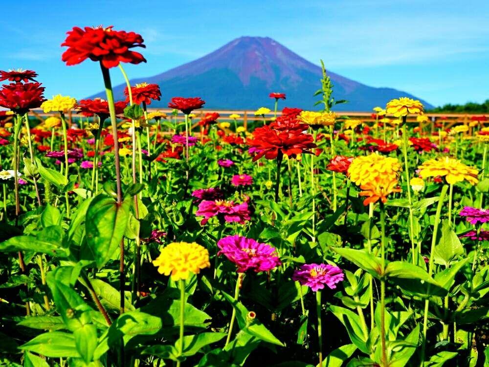 Misaoiさんの投稿 お出かけ先 花のある暮らし 花の都公園 綺麗な景色 百日草