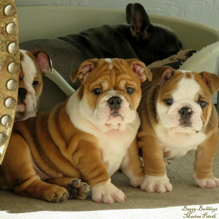 Bullie Babies Precious Bully Dog Little Puppies Cute Dog Pictures