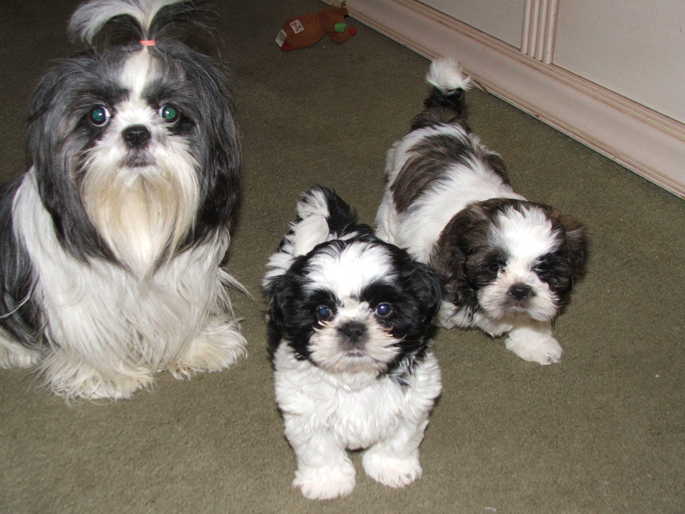 Shih Tzu Puppies For Sale In Wicket S Garage Sale Nutley Nj