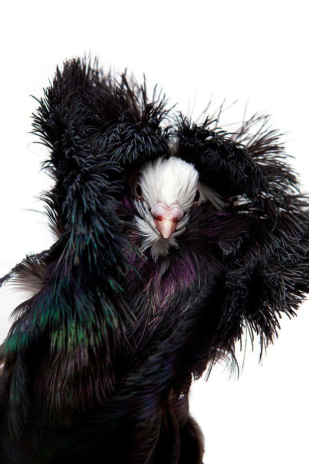 Jacobin Pigeon   Jacobin pigeon, Pet birds, Pigeon