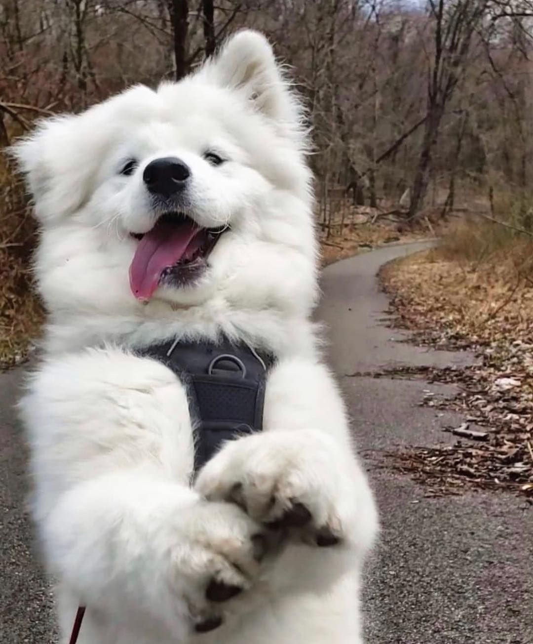 Everything You Want To Know About Samoyed - DOGBEAST