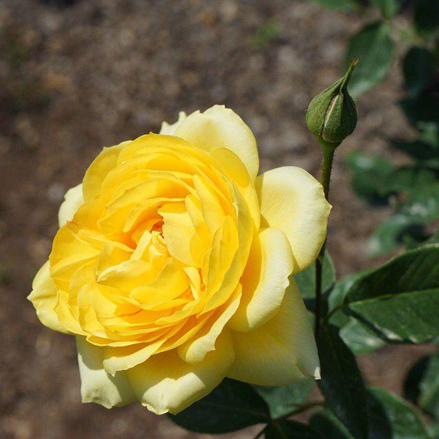 お疲れ様です! +987  Good evening my friends!  今夜も薔薇をお届け☆ミ  『#ゴールドグロー #GoldGlow  「金の輝き」優しい黄色♪ 珍しい品種だそうです。  USA Perry 1959年作出 #岐阜畜産センター にて  今日も有り難う御座いました。 この後も楽しい夜を☆ミ  #flowers #roses #nice #parks #RoseGarden #bns_garden #花 #薔薇 #公園 #薔薇特集