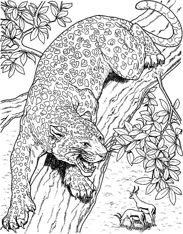 Jaguar Jaguar Eyeing On Mule Deer Coloring Pages Jaguar Eyeing