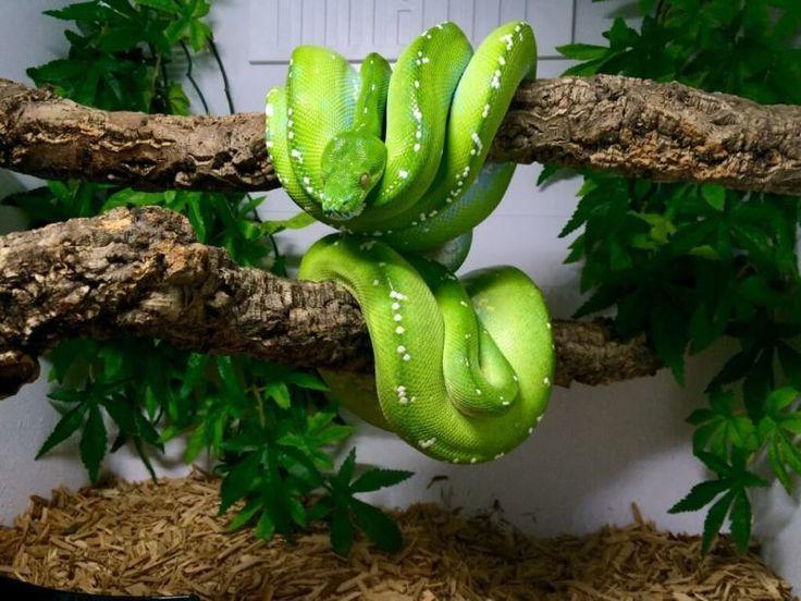 Informationen zu Green Tree Python  Informationen zu Green Tree Python