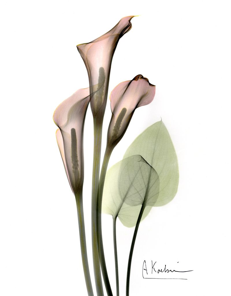 Calla lily by albert koetsier susan spiritus gallery possible calla lily by albert koetsier susan spiritus gallery izmirmasajfo