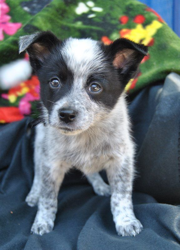 Hello I M Riley I Have Come To The Noosa Rspca With The Rest Of My Sweet Siblings As Lonely Lost Puppies With Lots Of Love Traini Cattle Dog Fleas Adoption