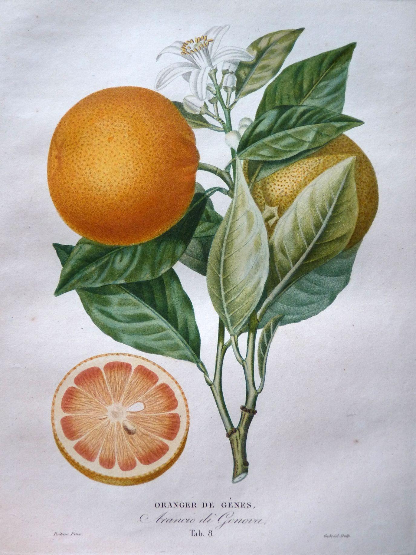 Arancio Di Genova From LHistoire Naturelle Des Orangers 1818