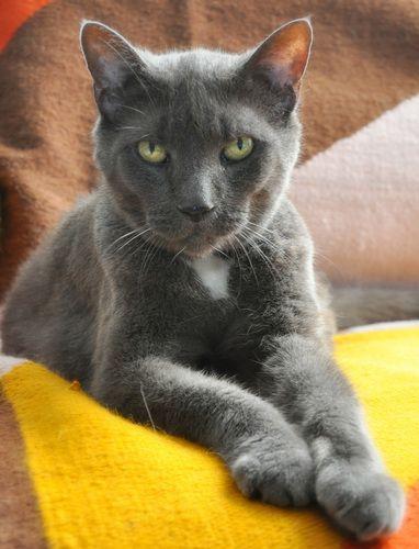 Anna Russian Blue Cat Brooklyn Ny Russian Blue Russian Blue Cat Cats And Kittens
