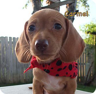 Cranford Nj Dachshund Mix Meet Carmel A Puppy For Adoption Http Www Adoptapet Com Pet 11039209 Cranford New Jersey Dachshun With Images Dachshund Mix Puppy Adoption
