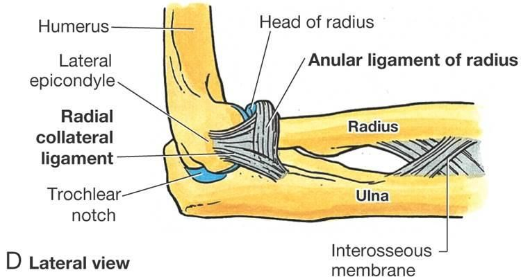radial collateral ligament - Google Search | Palpations in 2018 ...