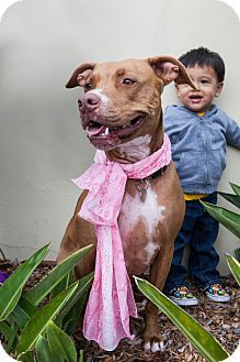 Redondo Beach, CA - American Staffordshire Terrier/American Pit Bull Terrier Mix. Meet Sienna, a dog for adoption. http://www.adoptapet.com/pet/12394183-redondo-beach-california-american-staffordshire-terrier-mix