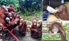 Baby orangutans catch a wheelbarrow to tree-climbing school