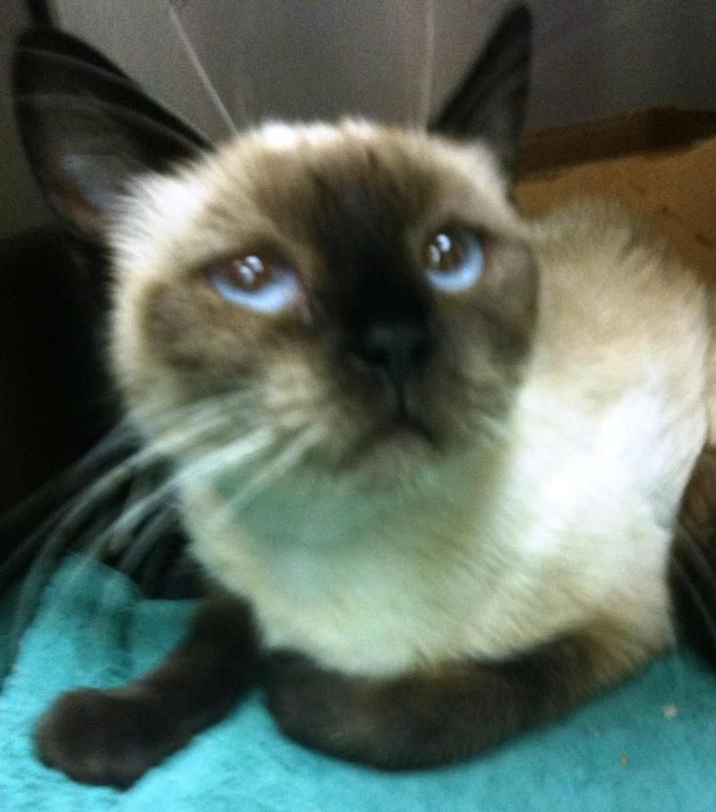 Adopt Bitty On Rescue Puppies Siamese Cats Bitty