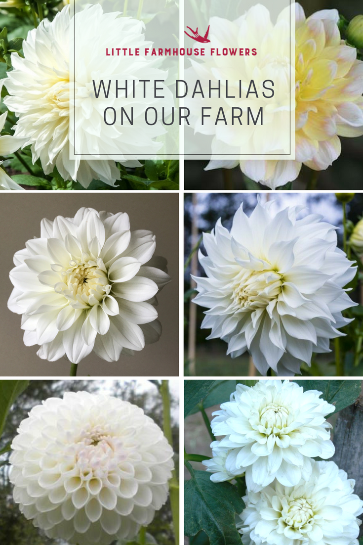 Dahlias On Our Farm Little Farmhouse Flowers White Dahlias Flower Farm Dahlia