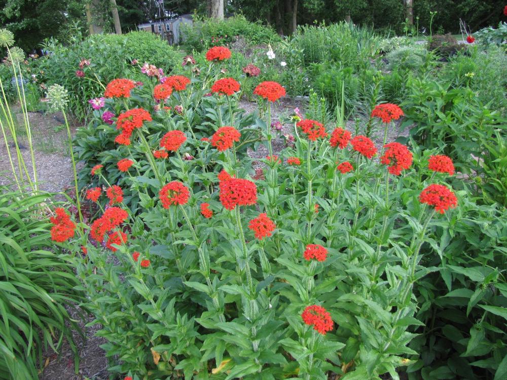 Maltese Cross Seeds Burning Love Flower Heirloom