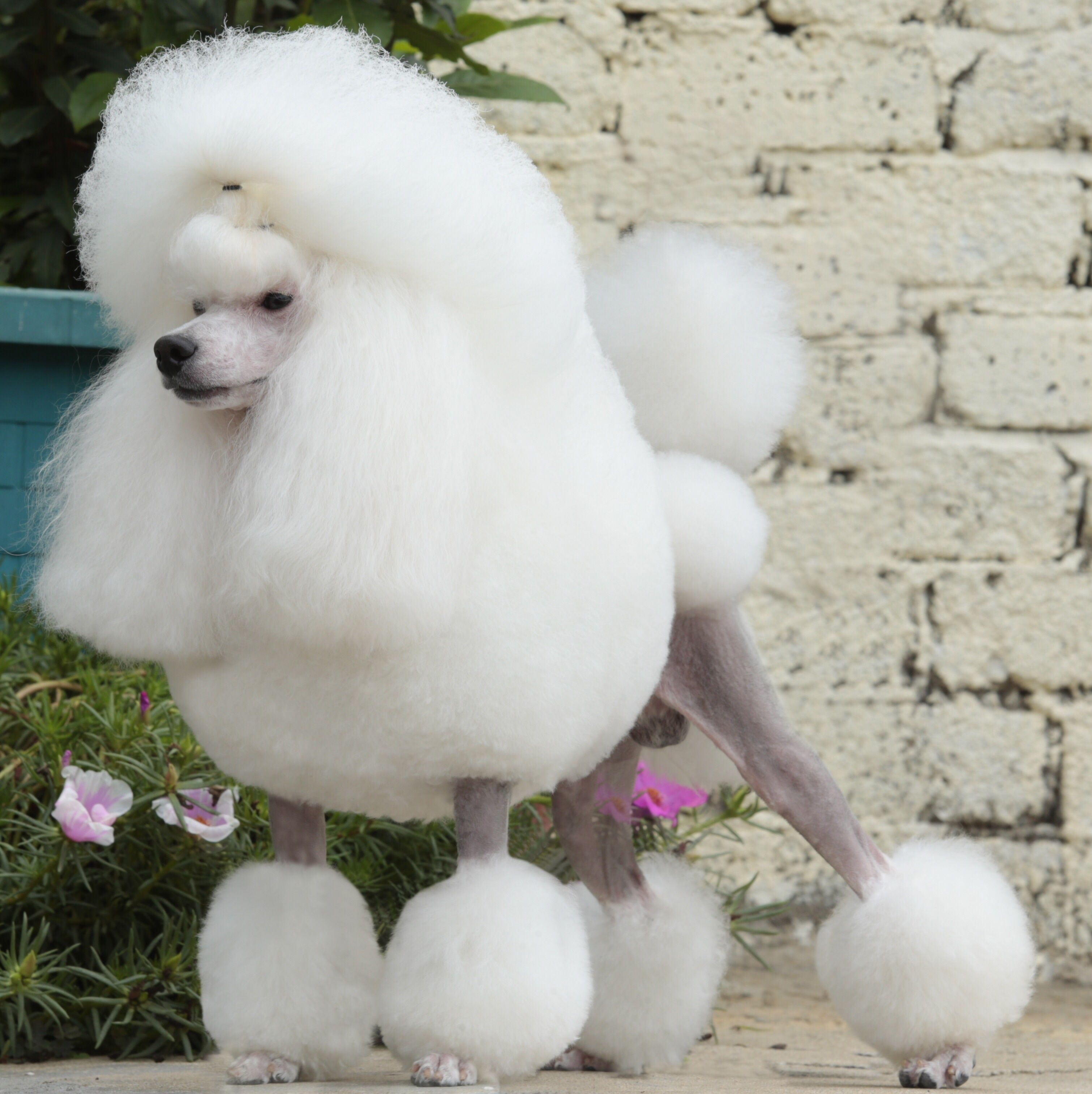 Cool Puppy Dog Com Poodle Dog Poodle Puppy Poodle