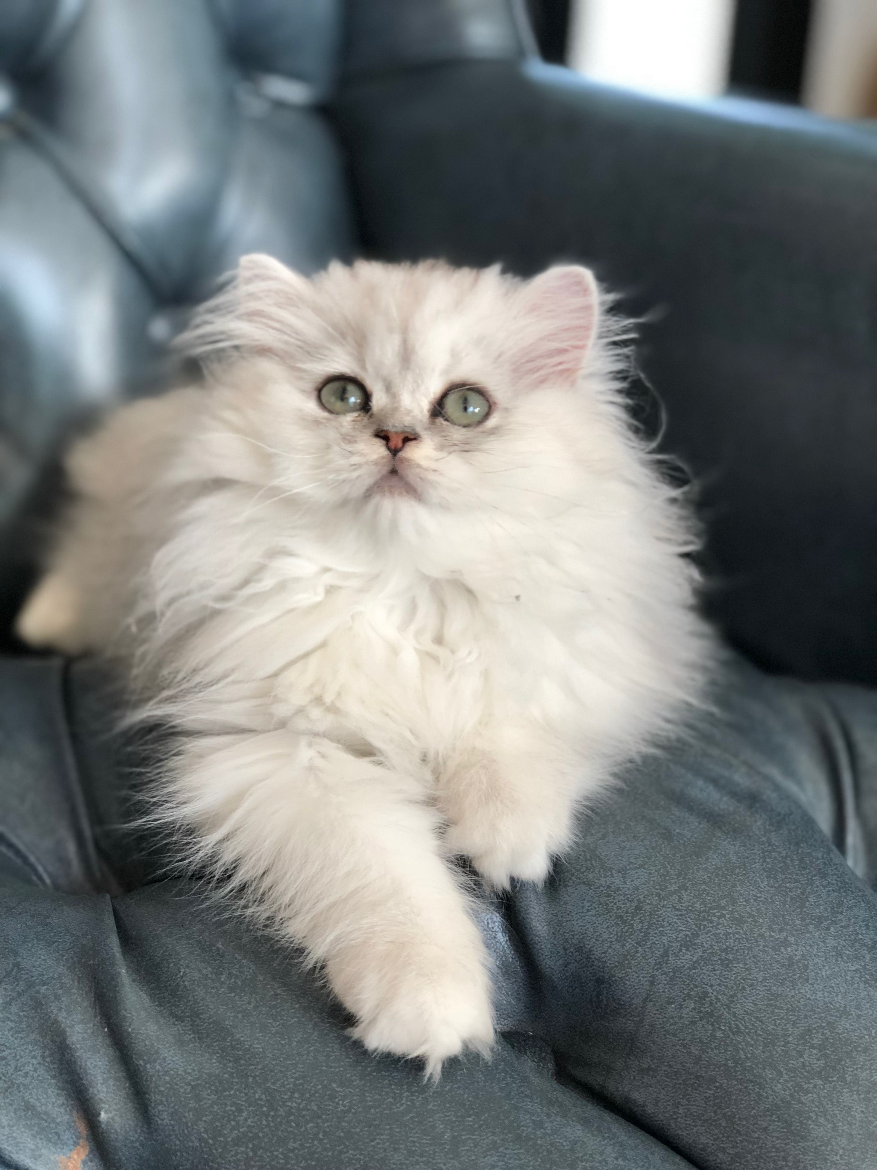 How to Take Care of Your Short Hair Persian Cat? Persian