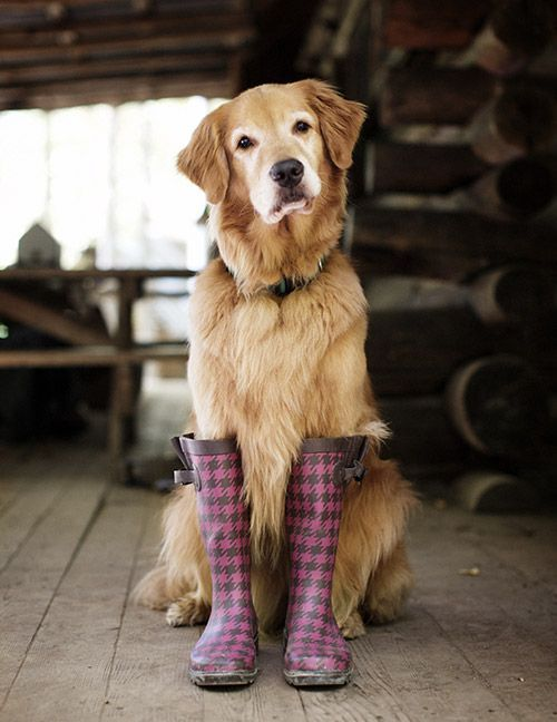 Funny Golden Retriever Boots Pics Cute Animals Baby Dogs Cute Dogs