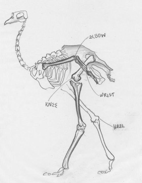 Ontogenetic scaling patterns and functional anatomy of the ... |Emu Anatomy