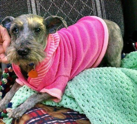 Adopt Charlie Girl On Petfinder Miniature Schnauzer Rescue Adoption Schnauzer Dogs