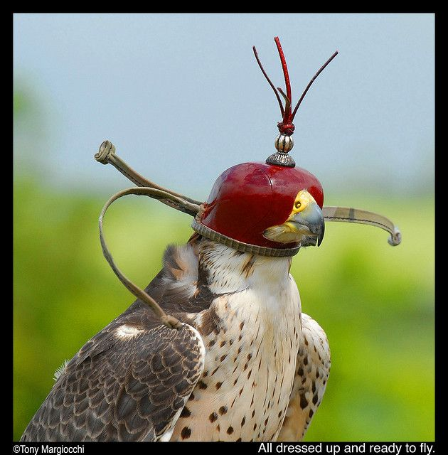 Hooded Falcon Jpg Falcon Hood Falconry Pretty Birds