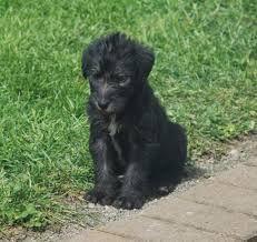 Scottish Deerhound Puppies Djur