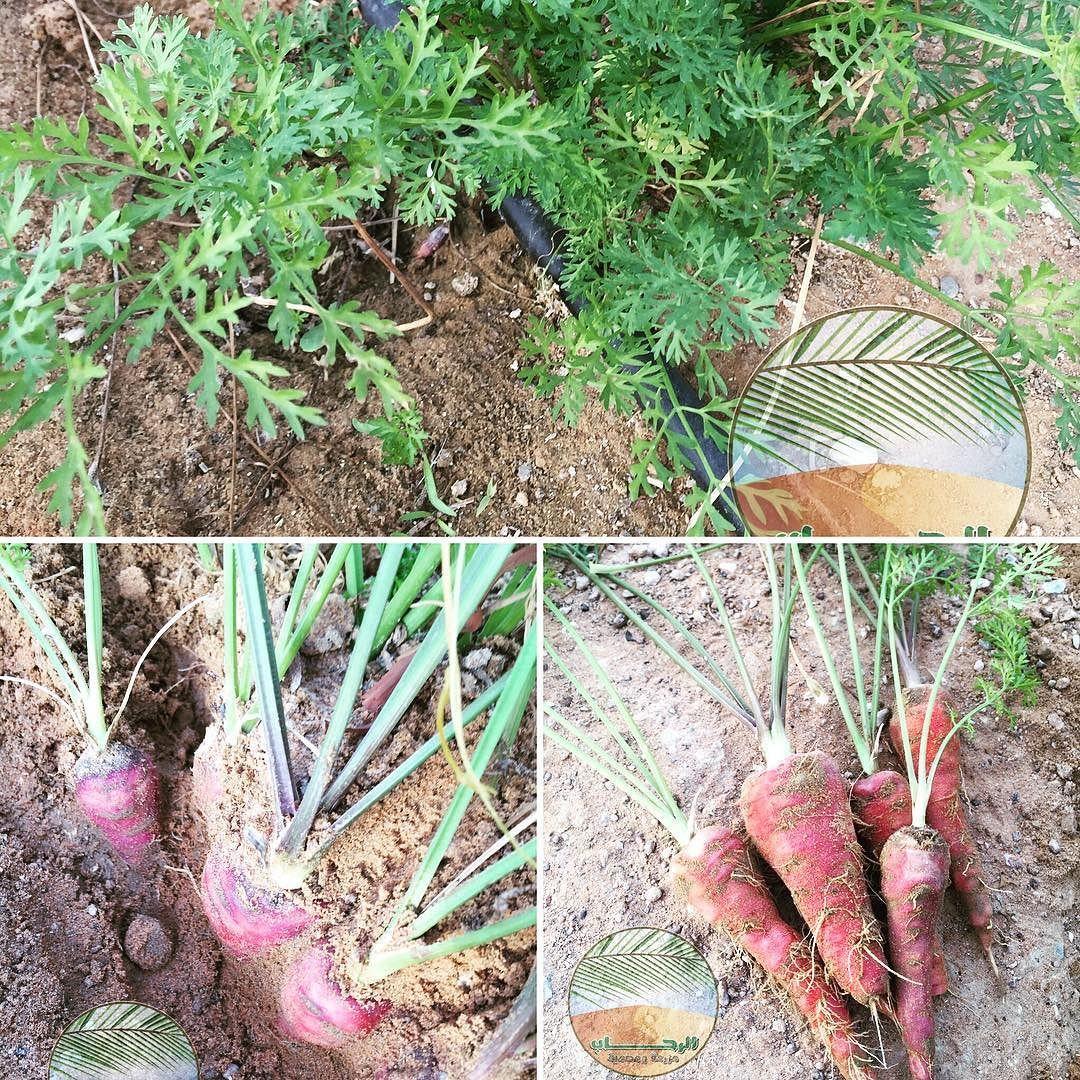 Alrehab C الرحــــــــــاب On Instagram الجزر الأحمر يحتوي هذا النوع من الجزر على الليكوبين وهو شكل آخر من أش Vertical Farming Urban Garden Instagram Posts