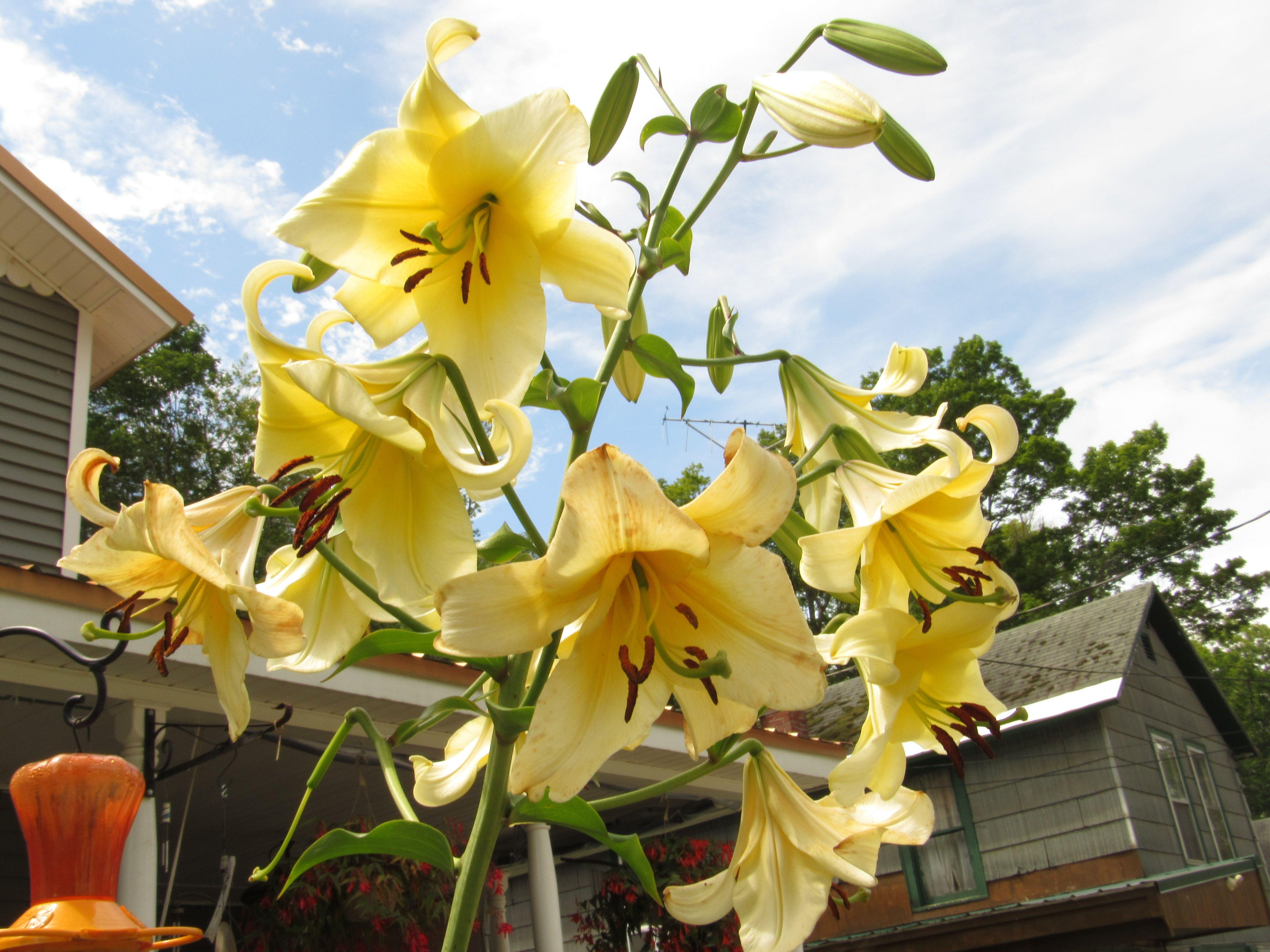 Yellow Ribbon Flower Garden Yellow Flowers Summer Flowers