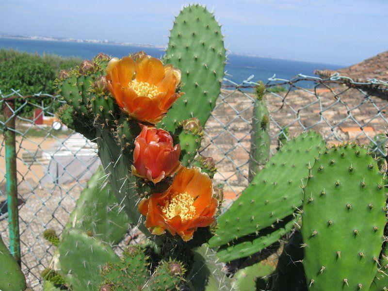04 Lagos cactus-11.JPG - Prachtig oranje bloeiende reuzencactussen. Meestal zijn ze gee. Wel oppassen voor de stekels.