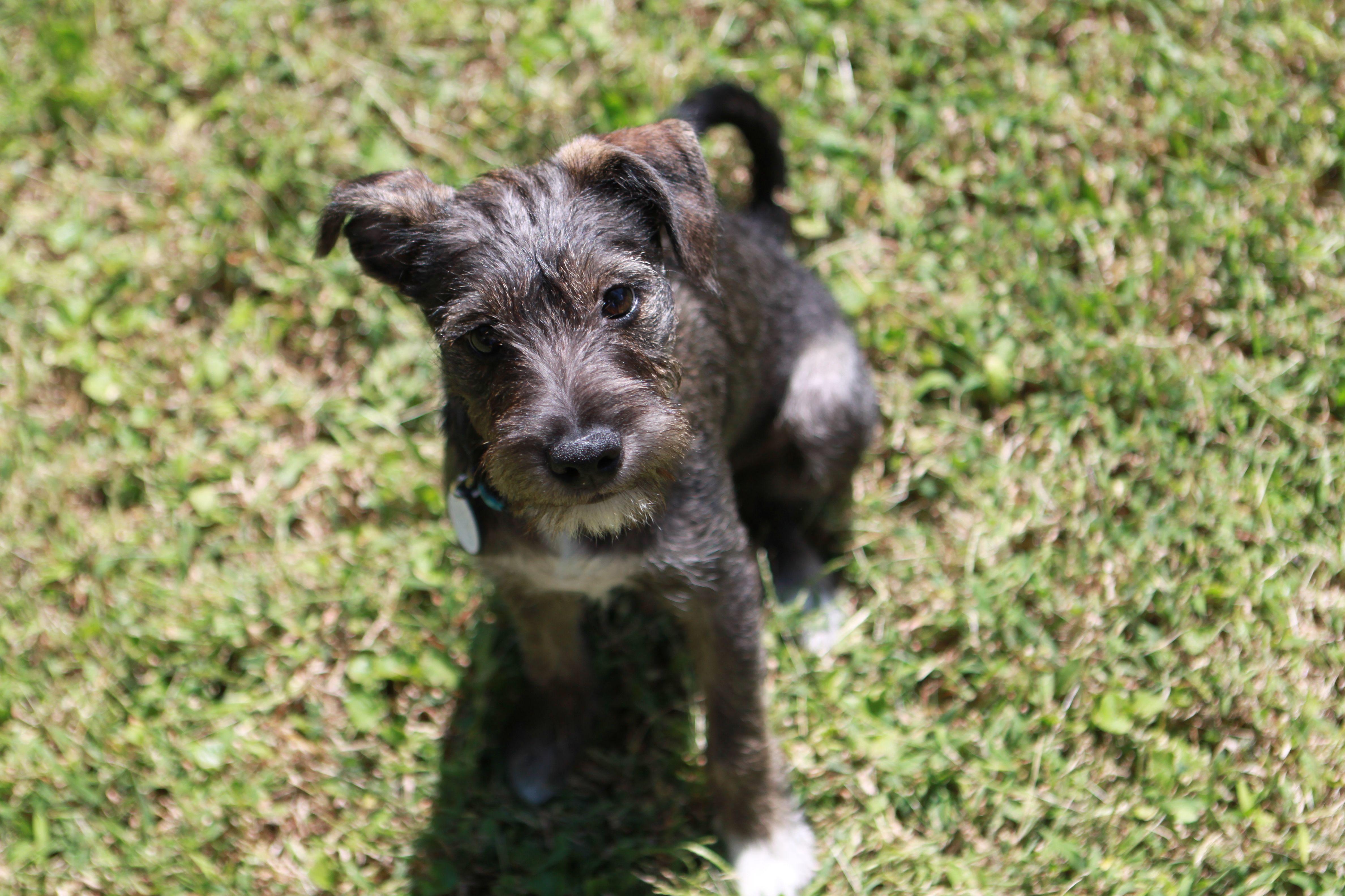 Jack Russell Terrier Schnauzer Mix Schnauzer Mix Jack Russell