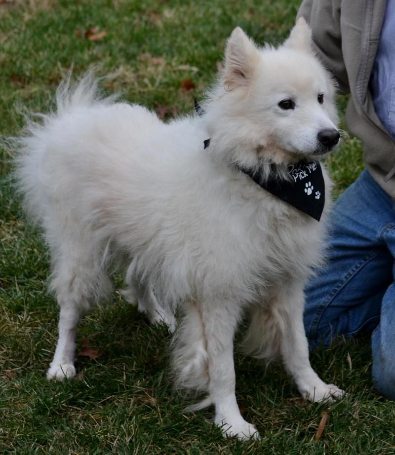 2/8/14: Bumble is a very cute Samoyed mix who ended up at the shelter after his owner died.  This 8 year old dog is a love who'd like to be your lap dog.  He gives kisses and cuddles.  Bumble is house broken and super sweet.  Ready for a gorgeous, lovable,...
