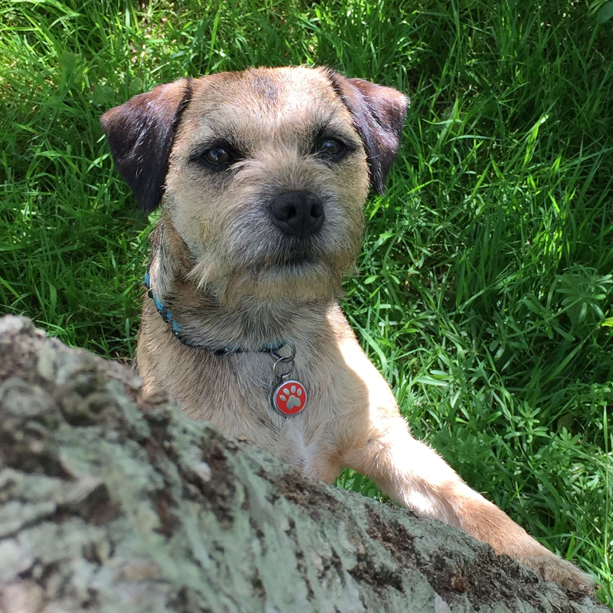 Border Terrier Border Terrier Dog Rules Brown Dog