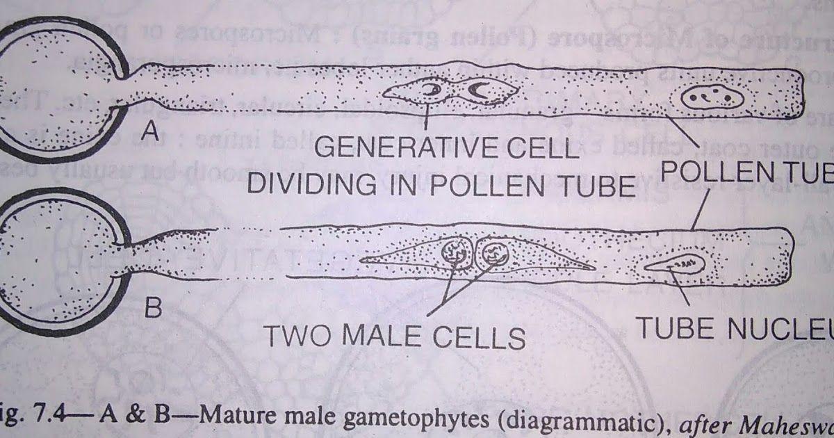 Photo of Microgametogenesis i.e. the development of Male Gametophyte :Microspore i.e. pol…