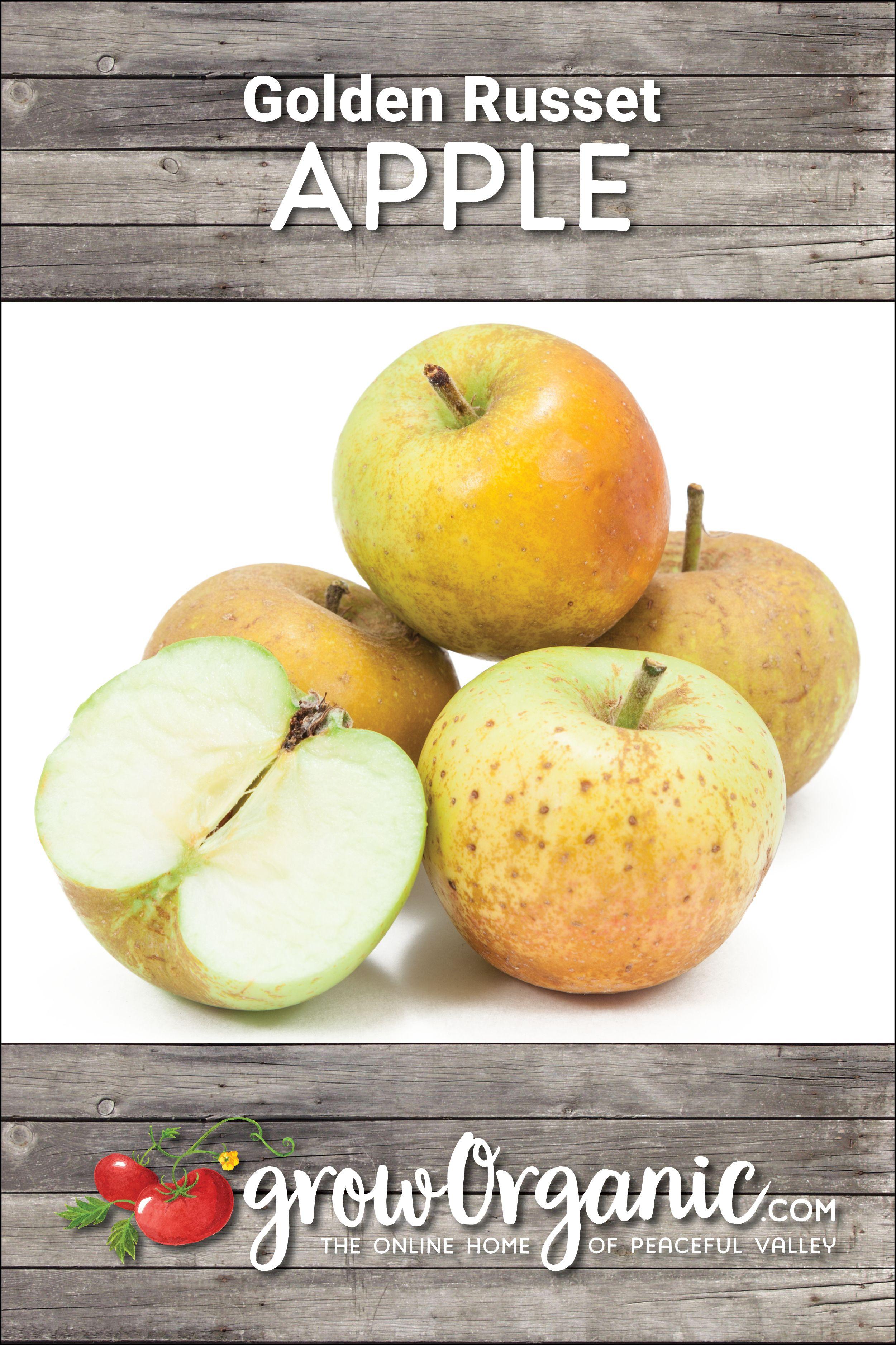 Golden Russet Apple Tree (Semidwarf) Ripe fruit, Apple