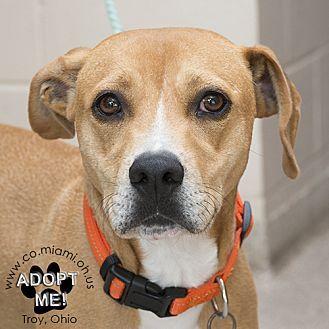 Labrador Retriever Mix Dog for adoption in Troy, Ohio