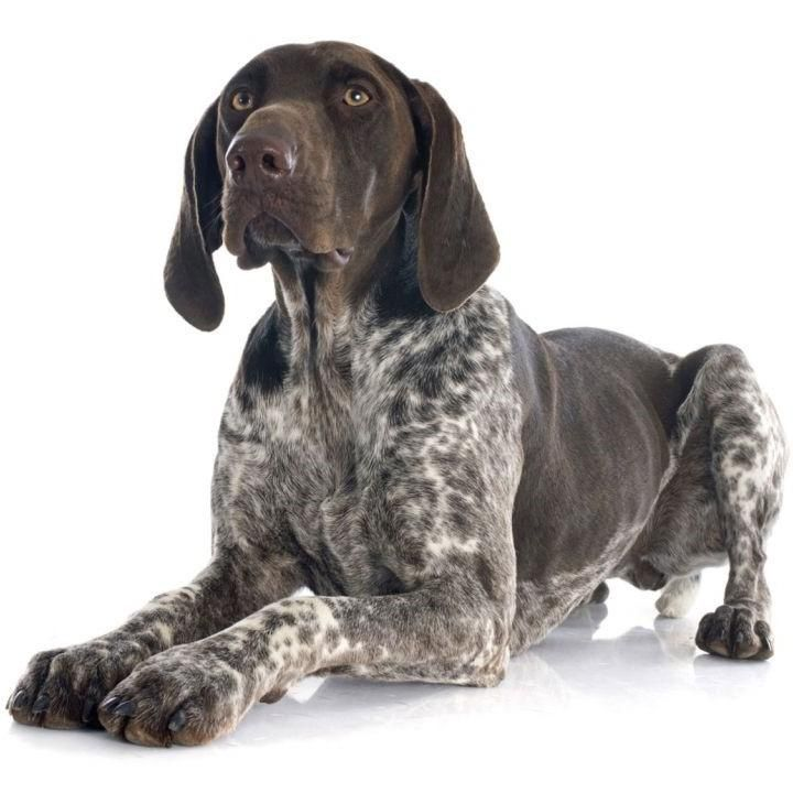 Dog german shorthaired pointer traits and pictures