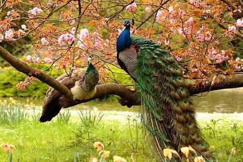 peacocks love